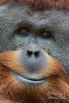 Orangutan Digital Art - Sumatra Orangutan by Jerry Fornarotto