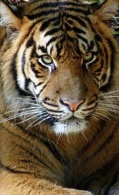 Sumatran Tiger Junior Print by Margaret Saheed