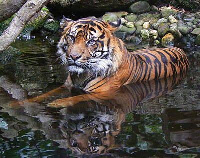 Sumatran Tiger Keeping Cool In Summer Print by Margaret Saheed