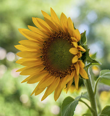 Sunflowers Photograph - Summer Sunflower by Terry DeLuco