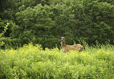 Summer Whitetail Deer Print by Thomas Young