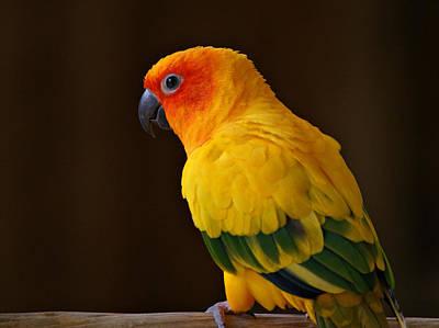 Sun Conure Parrot Print by Sandy Keeton