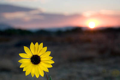 Sunsets Photograph - Sun Flower IIi by Peter Tellone