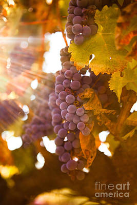 Vines Photograph - Sun Ripened Grapes by Diane Diederich