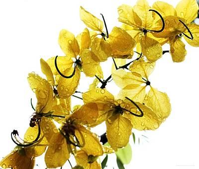Cassia Blossoms Photograph - Sun Shower by Chrystyne Novack