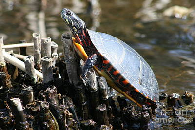 Turtle Photograph - Sun Turtle Life   by Neal  Eslinger