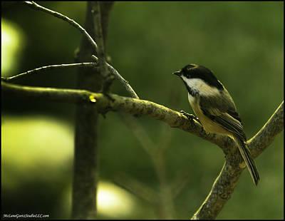 Chickadee Photograph - Sun Warmed Chickadee by LeeAnn McLaneGoetz McLaneGoetzStudioLLCcom