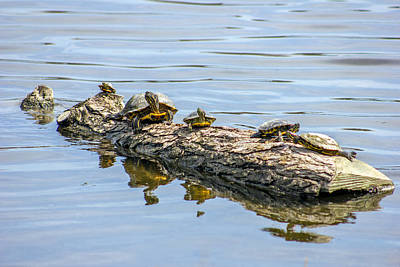 Baby Turtle Photograph - Sunbathing Turtles  by Jackie Novak