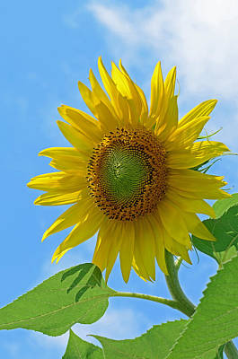 Sunflower Against Blue Sky Print by Lisa Phillips
