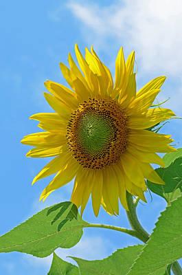 Botanical Photograph - Sunflower Against Blue Sky by Lisa Phillips
