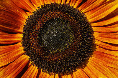 Macro Flower Photograph - Sunflower Bloom by Luke Moore
