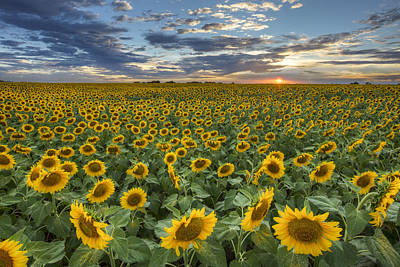 Sunflower Field At Sunset 1 - Texas Wildflower Images Print by Rob Greebon