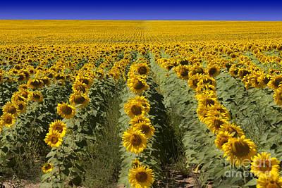 Botanic Photograph - Sunflower Field by Juli Scalzi