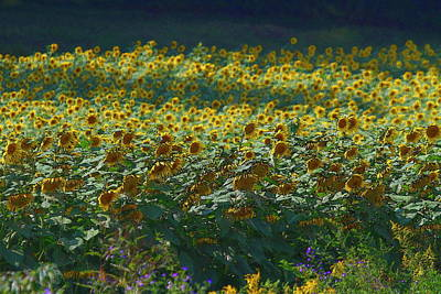Flowers Photograph - Sunflower Fields 7 by Cathy Lindsey