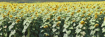 Sunflower Photograph - Sunflower Fields by Cathy Lindsey