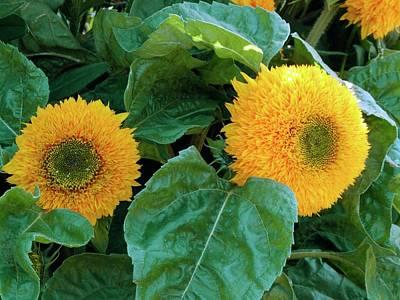 Sunflower (helianthus Annuus Tuberosus) Print by D C Robinson