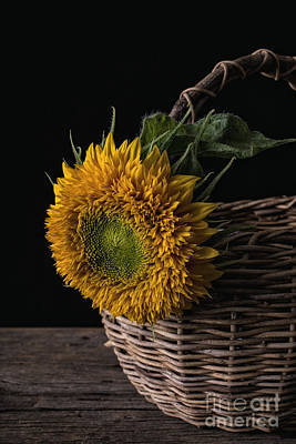 Sunflower In A Basket Print by Edward Fielding