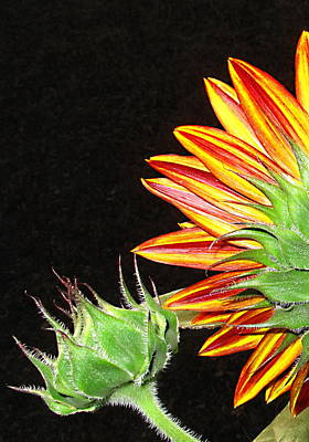 Sunflower In The Making Print by Joyce Dickens