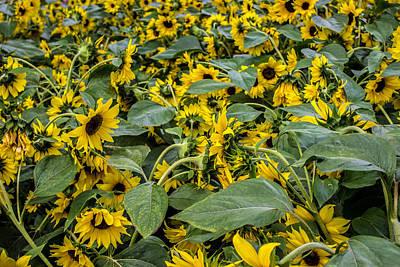 Sunflower Print by Martin Newman