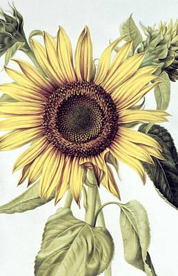 Sunflower Print by Nicolas Robert