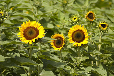 Sunflower Patch Print by Bill Cannon