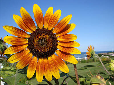 Photograph - Sunflower by Patricia Urato