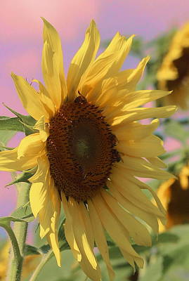 Sunflower Pop Print by Cathy Lindsey