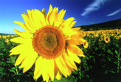 Sunflower, Provence, France Print by Peter Adams