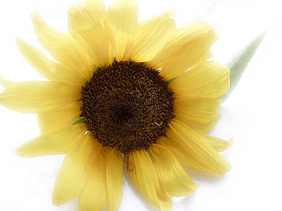 Sunflowers Photograph - A Single Sunflower In Color by Louise Kumpf