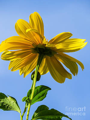 Floral Photograph - Sunflower by Zina Stromberg