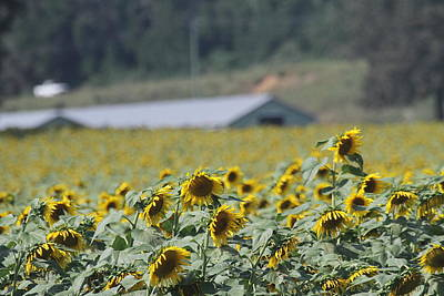 Sunflowers And Building Print by Cathy Lindsey