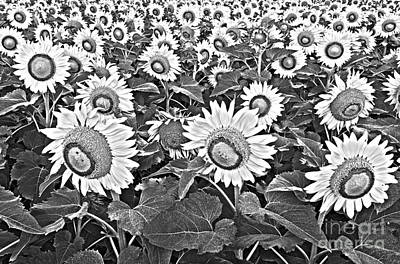 Field Of Crops Photograph - Sunflowers by Elena Nosyreva