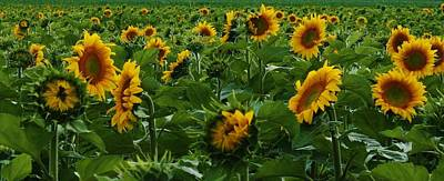 Sunflowers Galore Print by Bruce Bley