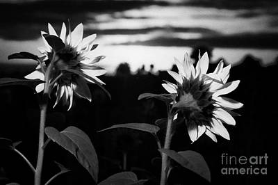 The Friendly Flower Photograph - Sunflowers Helianthus Annuus As The Sun Rises In The Eastern Sky At Daybreak by Joe Fox