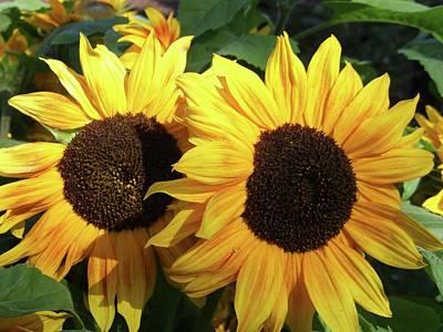 Sunflowers (helianthus Annuus) Print by D C Robinson