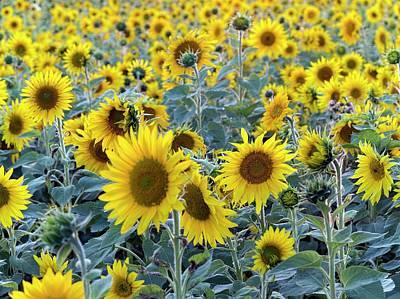 Sunflowers (helianthus Annuus) Print by Daniel Sambraus