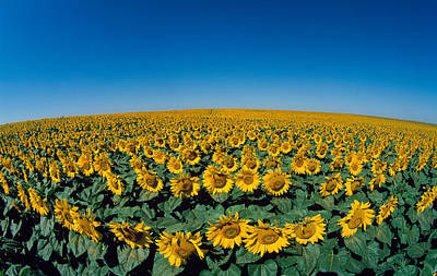 Sunflowers Helianthus Annuus In A Field Print by Panoramic Images