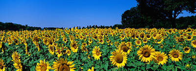 Provence Photograph - Sunflowers In A Field, Provence, France by Panoramic Images