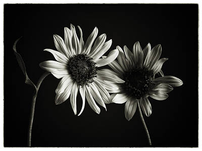 Sunflowers In Soft Light Print by Jesse Castellano