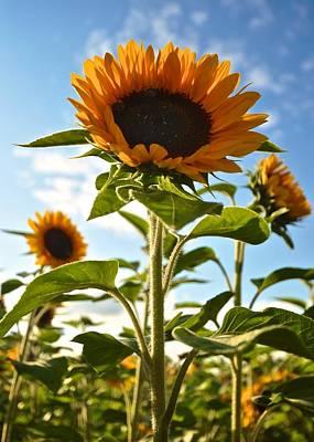 Sunflowers Original by Matt MacMillan