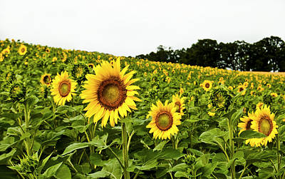 Sunflowers On A Hill Print by Christi Kraft