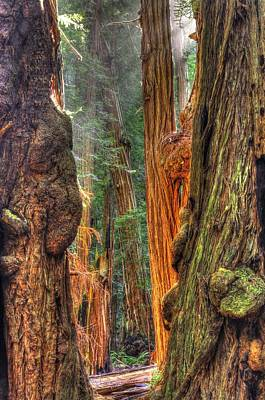 Sunlight Beams Into The Grove Muir Woods National Monument Late Winter Early Afternoon Print by Michael Mazaika
