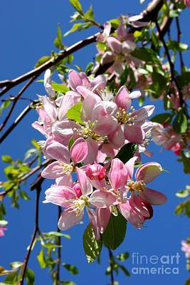 Sunlight On Spring Blossoms Print by Carol Groenen