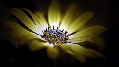 Osteospermum Photograph - Sunny Amanda African Daisy by Julie Palencia