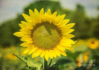 Sunny Face Print by Terry Rowe