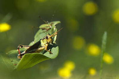 Grasshopper Photograph - Sunny Green Grasshopper by Christina Rollo