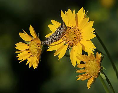 Grasshopper Photograph - Sunny Hopper by Ernie Echols