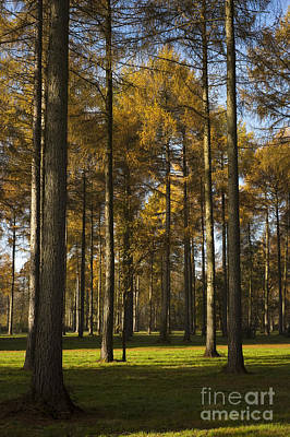 Sunny Larch Grove Print by Anne Gilbert