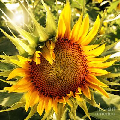 Sunny Sunflower Print by Chris Scroggins