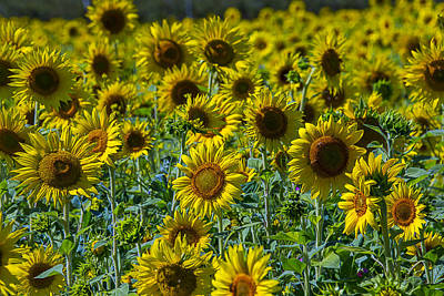 Sunflowers Photograph - Sunny Sunflowers by Garry Gay